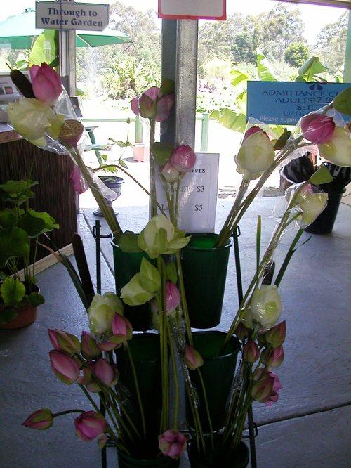 cut lotus flowers